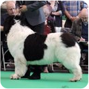 Junior à Crufts 2015